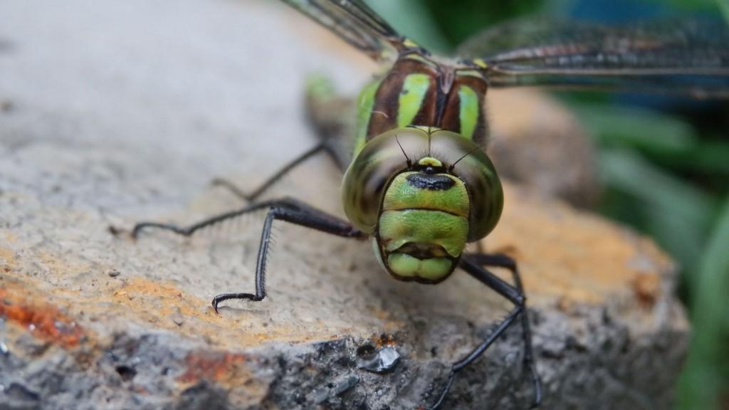 Olympus Sz30 - Libelle im Garten - smartcamnews