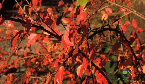 Der Herbst im satten rot - Sony RX 100 mIII - SmartCamNews