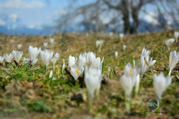 Krokuse - Nikon 1 V3 - SmartCamNews