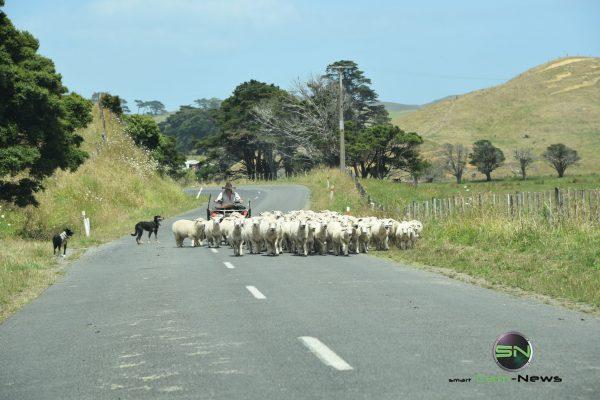 Die Schafe und der Hirte - Neuseeland - Nikon D750 - SmartCamNews