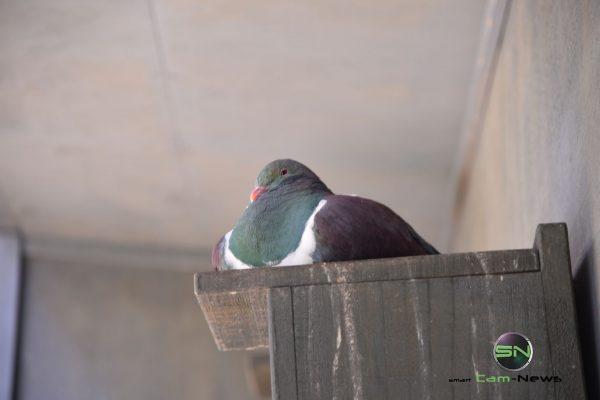 Tauben iin Farbe - Neuseeland - Nikon D750 - SmartCamNews