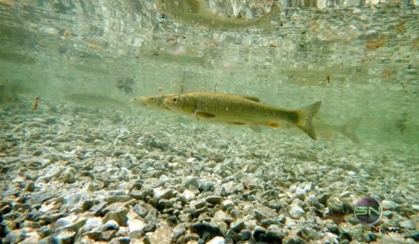 3 Fische - im See Slowenien - Nikon AW130 - SmartCamNews