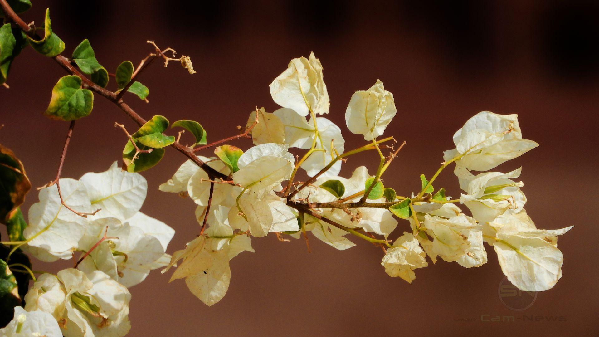 Blumen Bokeh - Nikon Coolpix P1000 - SmartCamNews